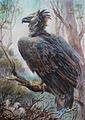 The American harpy eagle - Kazartseva Ekaterina Nikolaevna.jpg