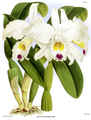 The Orchid Album-01-0023-0006-Cattleya morganae.png