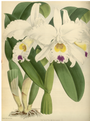 The Orchid Album-01-0023-0006.png