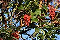 The Pacific Madrone tree's berries, where we looked and looked for Varied Thrush (45623883951).jpg