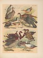 The birds of North America (PL. CXVIII) (6022726774).jpg
