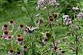 Three Creeks - Papilio glaucus (female) on Echinacea purpurea 2.jpg