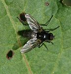 Thricops sp. - male.jpg