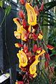Thunbergia mysorensis - Longwood Gardens - DSC01186.JPG