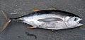 Thunnus obesus (bigeye tuna).jpg