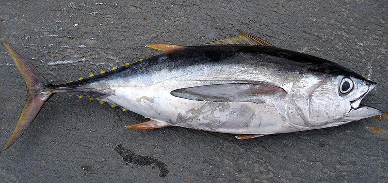 Klasifikasi Dan Morfologi Tuna Mata Besar (T. Obesus)