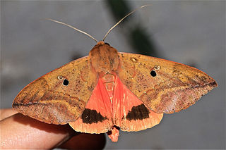 <i>Thyas honesta</i> Species of moth