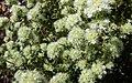 Thymus mastichina (43767195132).jpg