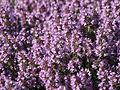 Thymus pulegioides flowering 03.JPG