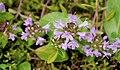 Thymus quinquecostatus (9381697759).jpg