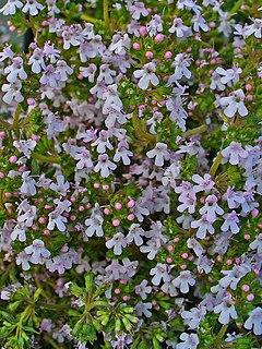 240px thymus vulgaris 002