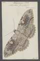 Thysania - Print - Iconographia Zoologica - Special Collections University of Amsterdam - UBAINV0274 060 16 0022.tif