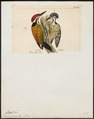 Tiga javanensis - 1820-1860 - Print - Iconographia Zoologica - Special Collections University of Amsterdam - UBA01 IZ18700345.tif