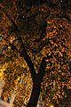Tilia cordata (golden hour).jpg