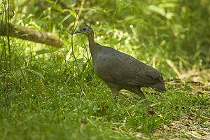 Solitary tinamou - At Intervales State Park, São Paulo, Brazil
