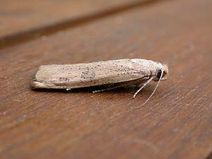Tirathaba rufivena - Living specimen