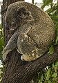 Tired Cairns Koala-1 (15816529957).jpg