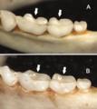 Toothrows in Sturnira bakeri and burtonlimi.png