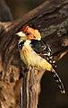Trachyphonus vaillantii -near Sand River Selous, Selous Game Reserve, Tanzania-8.jpg