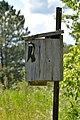 Tree Swallow (Tachycineta bicolor) - Guelph, Ontario 02.jpg