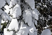 Tree covered with snow.jpg