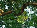 Trees Bangladesh (2).JPG