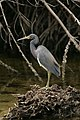 """Tricolored Heron, J.N. """"Ding"""" Darling NWR (5613060640).jpg"""