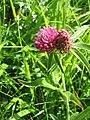 Trifolium alpestre001.jpg