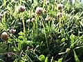 Trifolium fragiferum (subsp. fragiferum) sl4.jpg