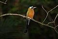 Trinidad Motmot (Momotus bahaemsis) (4090306406).jpg