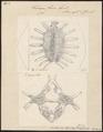 Trionyx ferox - 1700-1880 - Print - Iconographia Zoologica - Special Collections University of Amsterdam - UBA01 IZ11600179.tif