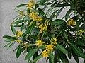 Tristaniopsis laurina 2.jpg