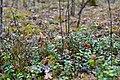 Troianivka Manevytskyi Volynska-Kruchene ozero nature reserve-Vaccinium myrtillus.jpg