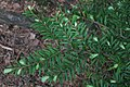 Tsuga heterophylla RF.jpg