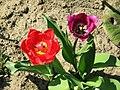 Tulipa gesneriana 3.jpg