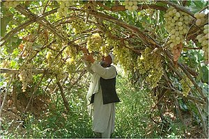 Economy of Afghanistan - Afghan grapes