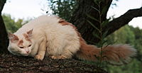Turkish Van.jpg