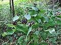 Tutsan berries - geograph.org.uk - 584954.jpg