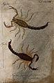 Two scorpions; Vaejovis flavescens and Vaej. asperulus. Colo Wellcome V0022421EL.jpg