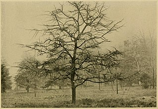 <i>Ulmus minor</i> Suberosa Elm cultivar