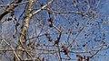 Ulmus pumila 7.jpg