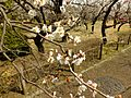 Ume Garden in the Kyōdo-no-mori Park 20130310-5.jpg