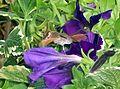 Unbekanntes nektarsaugendes Insekt.jpg