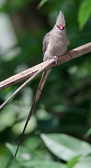 Wildlife of Djibouti - Urocolius macrourus