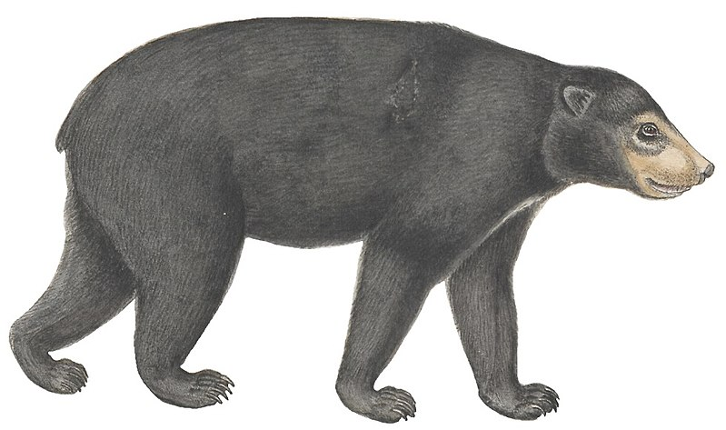 Ursus malayanus - 1700-1880 - Print - Iconographia Zoologica - Special Collections University of Amsterdam - (white background).jpg