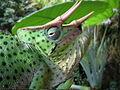 Usambara-Dreihornchamäleon Chamaeleo deremensis.jpg