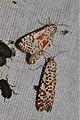Utetheisa pulchella (Erebidae- Arctiinae) (6227990616).jpg