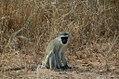 Vervet monkey (5943028907).jpg