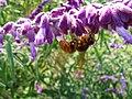 Vespa simillima xanthoptera02.jpg