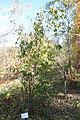 Viburnum betulifolium - Quarryhill Botanical Garden - DSC03709.JPG